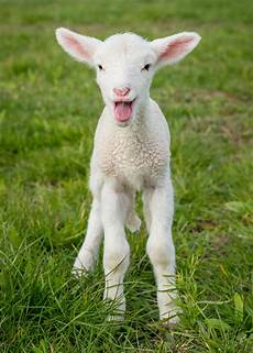 why are baby farm animals typically born in the spring iowa agriculture literacy