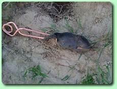 comment se débarrasser des rats taupe piege taupier sur la
