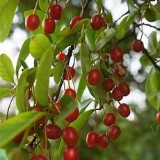arbuste fruit cerisier du japon fruit comestible du japon et des fleurs