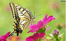 Schmetterling Schmetterling Auf Der Blume
