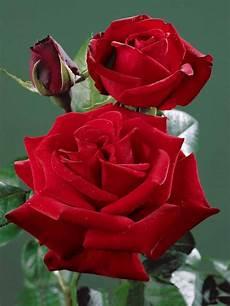 rosier buisson pas cher bien choisir un rosier pas cher conseils et comparateur