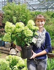 rispen hortensie lime 174 hydrangea paniculata