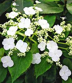 winterharte kletterpflanzen kollektion 2 containerpflanzen