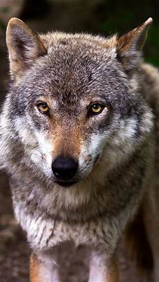 Wolf Wallpaper Android Hd