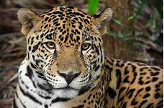 jaguar where do they live the big cats of belize belize animals caribbean critters