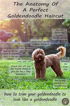 goldendoodle haircuts goldendoodle grooming timberidge in search of the perfect goldendoodle haircut here s a guide to creating that cute doodle l