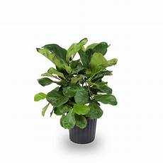 1 72 gallon fiddleleaf fig in plastic pot l5455hp at lowes com