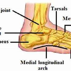 Anatomical Foot Diagram by Parts Of The Foot Diagram Camizu Org