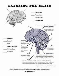 the human brain read and label worksheet by sandhill science tpt