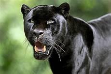 Black Panther Hd Wallpaper Background Image 3600x2400