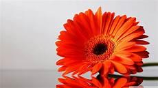 Orange Flowers Iphone Wallpaper by Orange Daisies Wallpaper Wallpaper Wide Hd