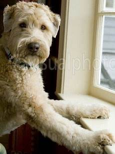 soft coated wheaten terrier haircut photos diesel soft pin by katherine gourley on wheaten terriers in 2020 soft coated wheaten terrier wheaton