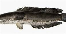 Umpan Jitu Mancing Ikan Haruan Ikan Gabus