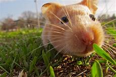 Hamster Wallpapers Backgrounds