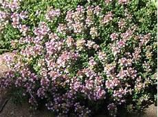 thymian pflege schneiden pflanzen thymus pulegioides