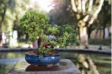 bonsai minib 228 umchen f 252 r zuhause bonsai bonsai pflanzen