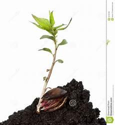 apfelbaum aus kern junger baum der vom kern w 228 chst stockfotos bild 16100783