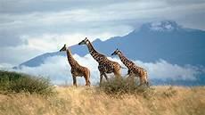 die giraffe giraffen sind gef 228 hrdet lange h 228 lse auf der roten liste