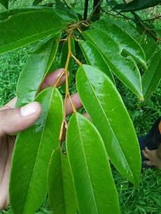 Penangkar Bibit Durian Unggul Cara Membedakan Daun Dan Buah