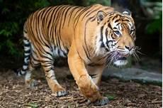 Harimau Fakta Makanan Habitat Populasi Gambar