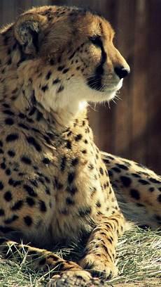 cheetah wallpaper for iphone cheetah tiger iphone 6s wallpapers hd