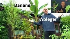 Banane Durch Ableger Vermehren