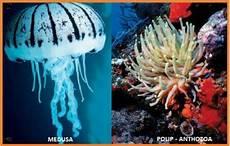 Perbedaan Tahap Polip Dan Medusa Pada Coelenterata Budisma