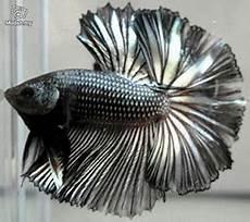 Makanan Ikan Cupang Cepat Bertelur macam macam gambar ikan cupang hias ikan cupang laga ikan
