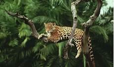 jaguar where do they live jaguar species wwf