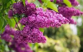 Lilac Tree Syringa Vulgaris Bush Branch With Purple