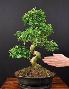 bonsai chinesischer liguster ligustrum sinensis indoor