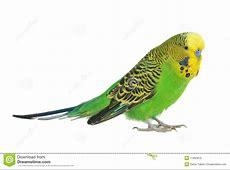 Portrait of budgerigar stock image. Image of close, nature