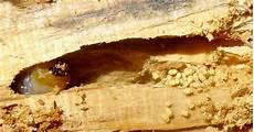 Insecte Capricorne Des Maisons Ventana