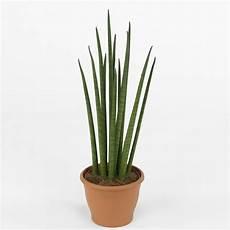 Pflanzen Wenig Licht - zimmerpflanzen f 252 r wenig licht 25 gr 252 ne und bl 252 hende arten