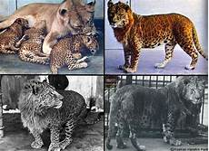 Big Cat Hybrid Leopon Leopard With A Lioness