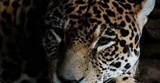 C 243 Mo Cuidan Los Jaguares A Sus Beb 233 S Ehow En Espa 241 Ol