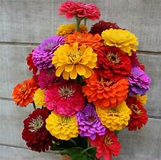 Zinnia Quot California Giants Quot Flower Seeds Zinnia Elegans
