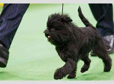 Why the Dog Show Winner Looks Like a Monkey