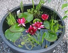 seerosen im kübel seerosen sumpf und wasserpflanzen aus walderbach in bayern