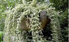 Weihrauchpflanze Pflanze Plectranthus Coleoides