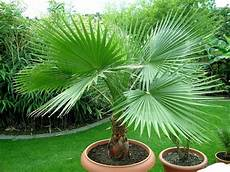 graines de palmier washingtonia filifera r 233 sistant