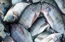Gambar Ikan Gurame Besar Gambar Ikan Hd
