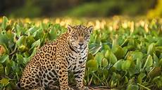 jaguar where do they live meet el jefe the only known jaguar living in the united