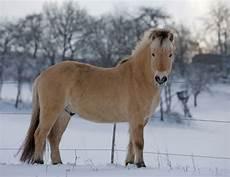 ausmalbilder pferde norweger norweger howrse wiki
