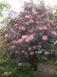 Holunder Black Lace - sambucus nigra quot black lace quot backyard garden spaces