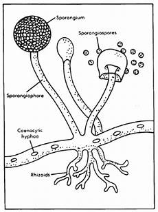 diagram of fungus zhomeschooler s resources apologia biology module 4 kingdom fungi introduction part a