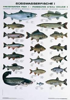 fischarten liste mit bildern pescars fischtafel s 252 sswasserfische 1 dafv shop