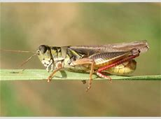 Grasshopper Control in Gardens and Small Acreages   5.536
