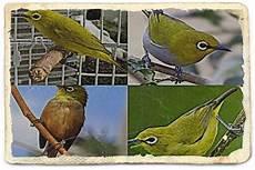 10 Perbedaan Burung Pleci Jantan Dan Betina Lengkap Gambar