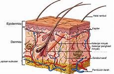 12 Anatomi Tubuh Manusia Fungsi Gambar Serta Pembahasannya